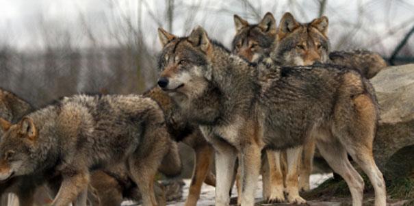 Lupi: pericolo o risorsa?