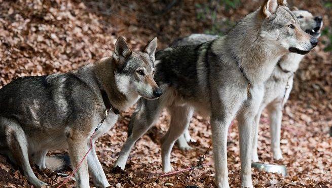 Area protetta lupi ancora in attesa